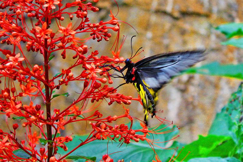 Ferma de fluturi_Thailanda_3