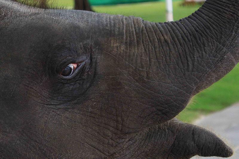Pui de elefant_Thailanda
