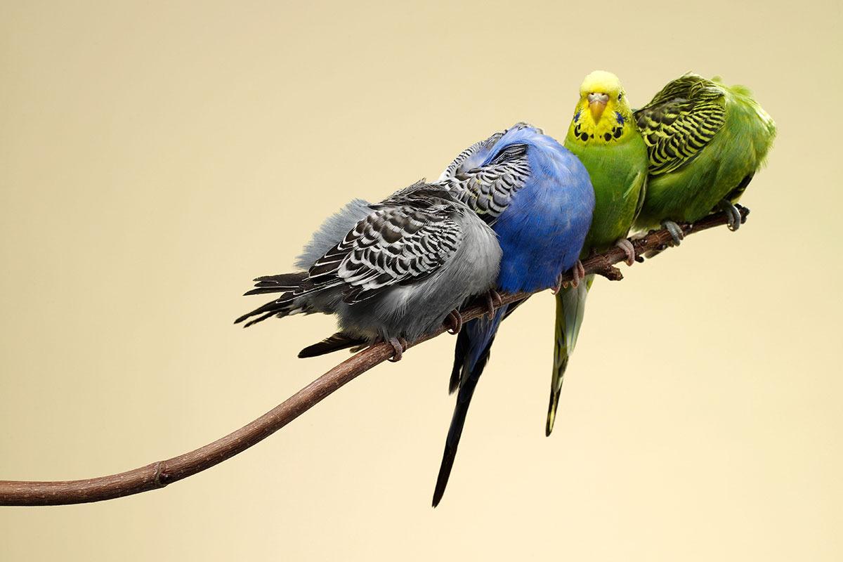 Niste-papagali_BUN